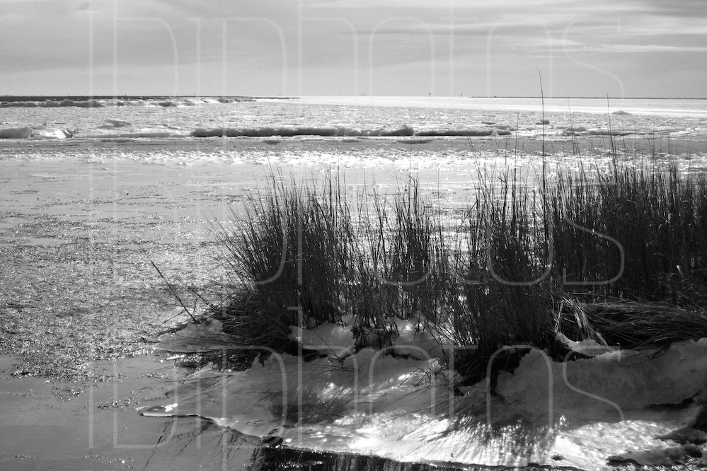 Weeds by Frozen Bay (BW)