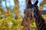Giraffe 1 (Color)