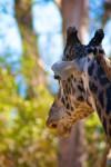 Giraffe 2 (Color)